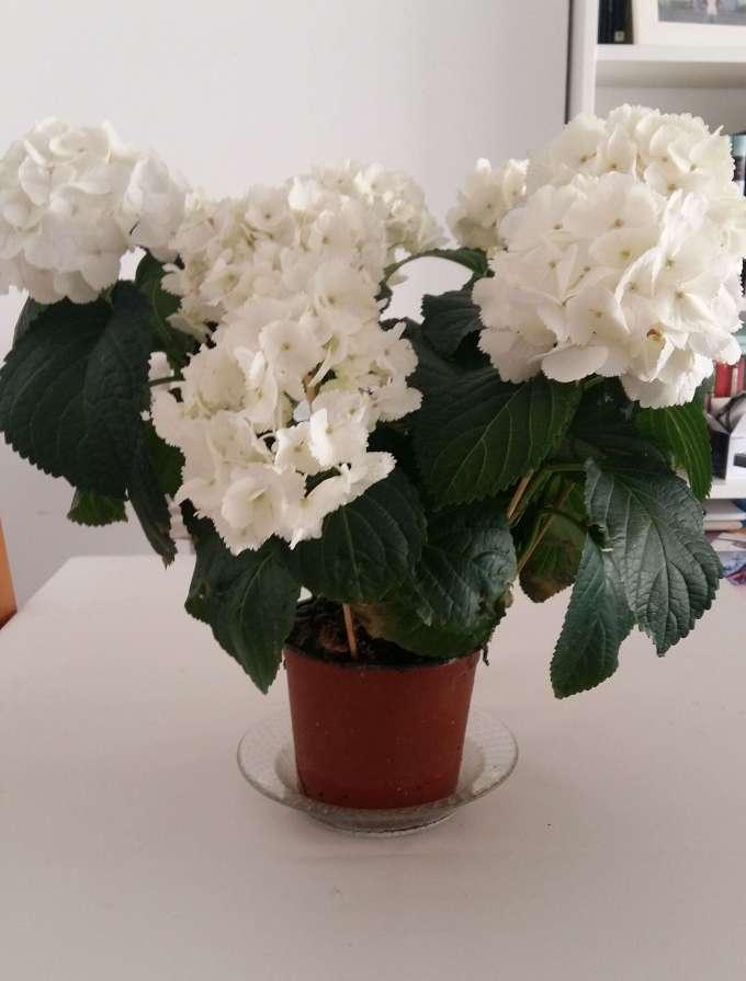 Como cuidar una hortensia de exterior como bien indica su nombre es la herramienta perfecta - Cuidar hortensias exterior ...
